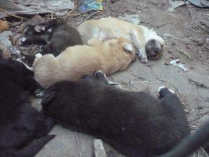 cachorros adopcion4
