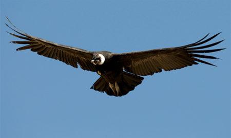 El condor que había sido envenenado volverá a volar