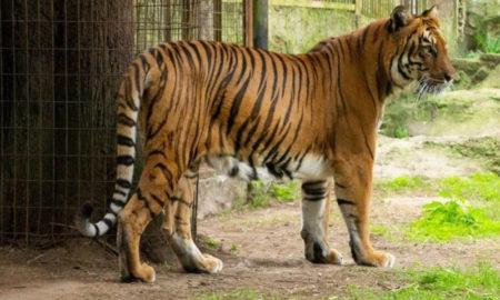 Tigresa viaja a Sudáfrica